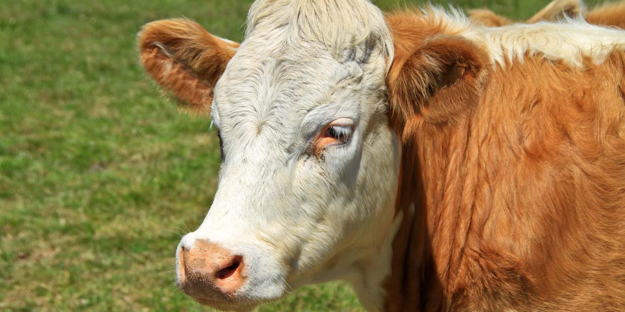 Beef cow in Irish field