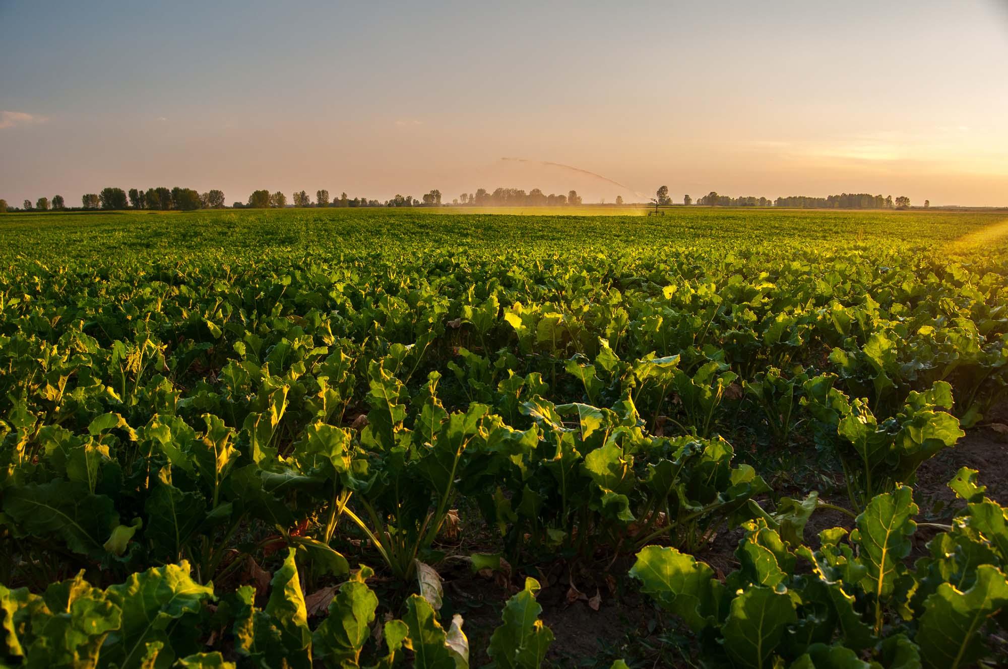 Beet planting in field