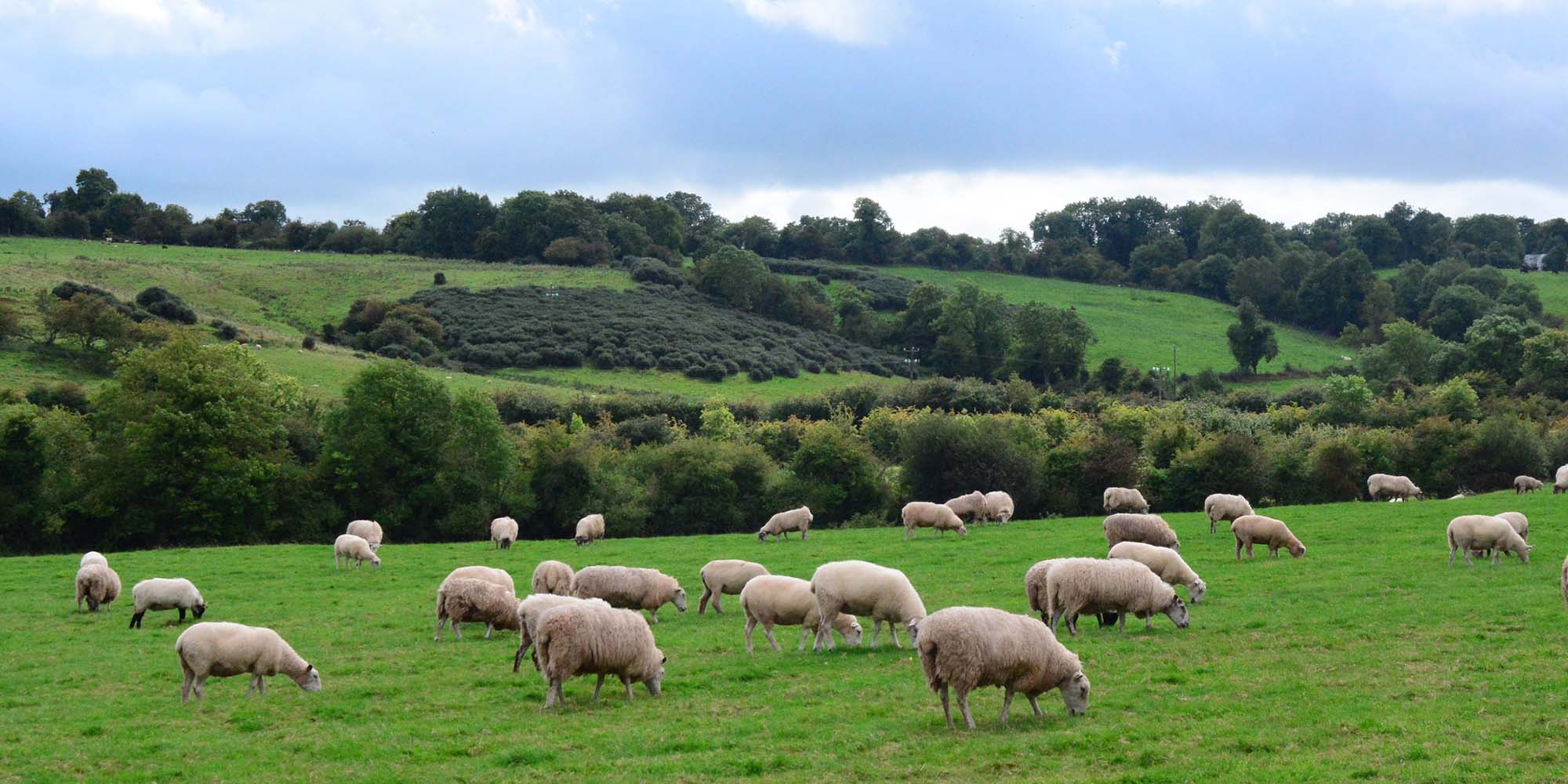 Sheep feed in Co. Offaly